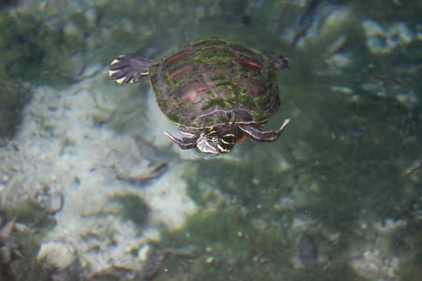 Tortugas en el Gran Cenote