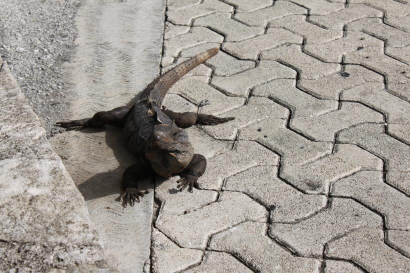 Iguanas everywhere